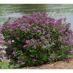 Add beauty and fragrance to gardens from spring to fall with this Proven Winners Bloomerang Dark Purple ColorChoice Syringa Lilac Shrub. Purple Flowering Bush, Flowering Bushes, Trees And Shrubs, Purple Plants, Sun Plants, Purple Lilac, Purple Flowers, Dark Purple, Top Flowers