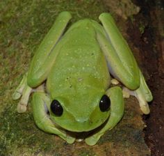 Nyctimystes Tree Frog