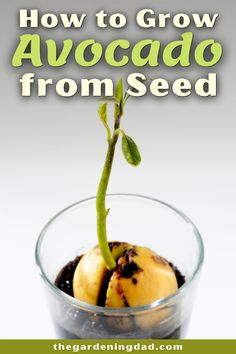 Learn how to grow avocado from seed. This fruit is one of the healthiest foods on the planet and should be grown as part of your garden and orchard! Tips include how to grow avocado in gardening containers, indoors, in a garden, along with tips on caring, harvesting, and using it! #avocado #fruit #gardening Vegetable Gardening, Container Gardening, Gardening Tips, Growing An Avocado Tree, Healthiest Foods, Avocado Seed, Health Heal, Potted Trees, Houseplants