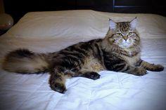 Ernesto Aurora Glow Siberian Cat, Aurora, Glow, Cats, Animals, Gatos, Animales, Animaux, Northern Lights