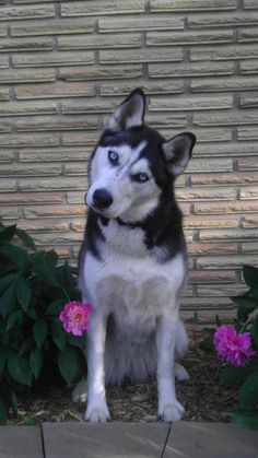 Siberian Husky - love when my girl looks as me like this.....