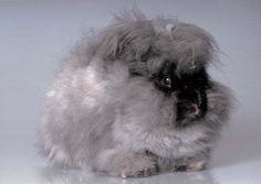 English Angora Rabbit. Everything you need to know to raise Angora rabbits for their wool.
