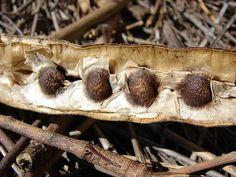15 Moringa oleifera Miracle tree Seeds by simbalovesfriends Organic Sugar, Natural Sugar, Benefits Of Moringa Seeds, Health Benefits, Miniature Palm Trees, Moringa Recipes, Garlic Health, Miracle Tree, Moringa Oleifera