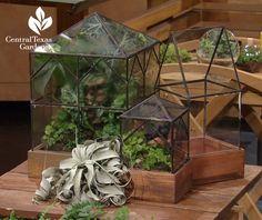 Wardian case terrarium Central Texas Gardener