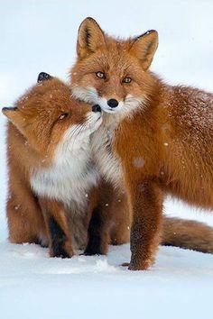 Rode vossen