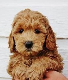 Dog Breeds For Kids Red Miniature Goldendoodles.Dog Breeds For Kids Red Miniature Goldendoodles Puppies And Kitties, Cute Puppies, Cute Dogs, Doggies, Puppies Puppies, Retriever Puppies, Labrador Retriever, Chien Goldendoodle, Goldendoodles
