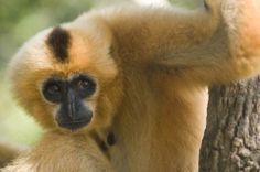 The yellow-cheeked crested gibbon - Nomascus gabriellae- is endangered.  In south-east Asia, populations of gibbons, leaf monkeys and langurs have dropped due to rapid habitat loss and hunting to satisfy the Chinese medicine and pet trade  http://www.theguardian.com/environment/gallery/2008/aug/05/endangeredspecies.wildlife?picture=336208122