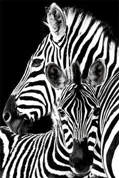 Zebra Regular Poster (01-6634)