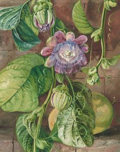 112. Foliage, flowers, and fruit of the Granadilla, Jamaica. Prints by Marianne North | Magnolia Box