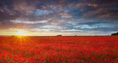 Bing Image Archive: Summer poppies at sunset (© Anthony Spencer/Getty Images)(Bing United Kingdom)