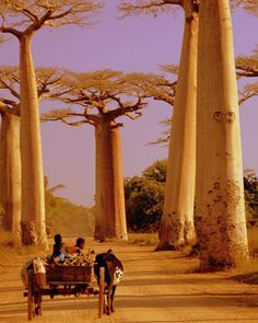Avenue of the Baobabs in western Madagascar