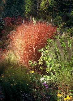MISCANTHUS PURPURASCENS - Flame Grass, Z4