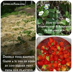 Companion plant asparagus & strawberries. Double your harvest: Grow a ½ ton of food in 200 square feet from one planting