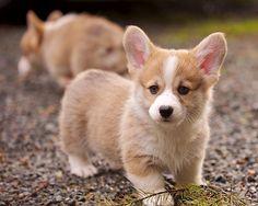 Corgi, my future puppy