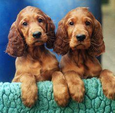 Irish Setter pups