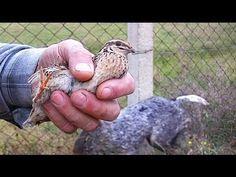 Ağzımızla kuş tutsak... Elle Bıldırcın Avı