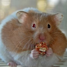 Snowflake the hamster