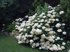 /\ /\ . 5 Tips for Growing Gorgeous Hydrangeas