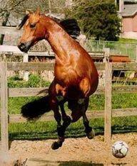 Arabian horse playing soccer.