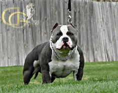 Preventing Heat Stroke: Warning Signs, Risks & Life Saving Actions For The Responsible American Bully Owner - BULLY KING Magazine