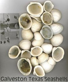 Seashells from Texas Gulf Coast Sea shell by TheIDconnection, $3.00