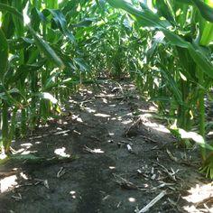 Good moisture under the corn canopy
