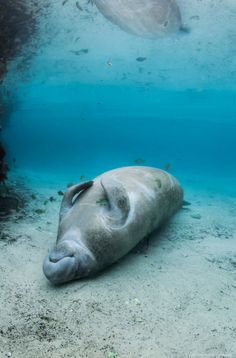 (Manatee Taking a Nap.) * *Factoid: MANATEES' ARE THE SWEETEST CREATURES WHO, WHEN SWIMMING ABOUT, GO TOO NEAR THE SURFACE. AS A RESULT, THEY GET CUT SEVERELY BY BOAT RUDDERS OR JET SKIIERS, ETC. AS A RESULT, THEIR NUMBERS ARE REDUCING. PLEASE SIGN PETITIONS TO HELP SAVE THIS GENTLE CREATURE !