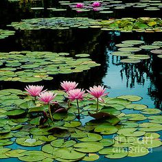 Magenta  Water Lily Pads by John Bartelt