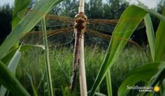 A dragonfly larva emerges from the water with four distinctive lumps on its back. These lumps will turn into the most powerful wings in the insect kingdom. Watch the transformation unfold before your eyes. Dragonfly Larvae, Archaeology, Insects, Wings, Science, History, Eyes, Places, Water