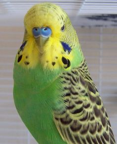 budgie - green parakeet.. I think we had about 10 of these. They kept getting out and flying away or flying into the wringer washer or soup pot. Of course I didn't know this untill I was an adult. LOL