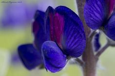 Lupinus pilosus - תורמוס ההרים   by Mugzemet
