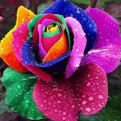 RAINBOW ROSE – La Rosa Arco Iris La Rosa Arco iris, una rosa natural multicolor que presenta una variedad única de colores del arco iris.  Esta rosa, conocida también como la rosa feliz o rosa de la felicidad, ha sido diseñada y creada en el año 2005 por Peter Van Werken, cultivador holandés a través de la inserción de un colorante especial en el tallo de las rosas, todo un proceso revolucionario.