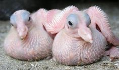 Baby pigeons - not a pretty sight... :)