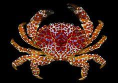 Toxic crab (Zosimus aeneus)  Moorea, French Polynesia