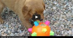 Cute Puppy Ricochet Attacks A Giggle Ball | Video • APlaceToLoveDogs.com • dog dogs puppy puppies cute doggy doggies adorable funny fun silly photography