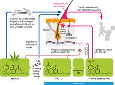 Finding cannabinoids in hair does not prove cannabis consumption - www.gear.international #Cannaworx