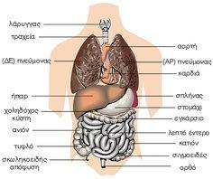 Οργανα του θώρακα και της κοιλιάς - Ι Medicine, About Me Blog, Nursing, Entertainment, Healthy, Medical, Health, Medical Technology, Entertaining
