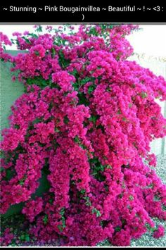 Bougainvillea.  Such a lovely color