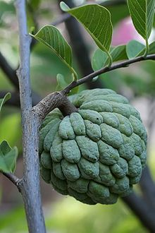 Sugar-apple, aka custard-pineapple. It is native to the tropical Americas and south Asia. The fruit flesh is sweet, white to light yellow, and resembles and tastes like custard. Sugar-apple has a very distinct, sweet-smelling fragrance. The texture of the flesh that coats the seeds is a bit like the center of a very ripe guava (excluding the seeds). It is slightly grainy, a bit slippery, very sweet and very soft.