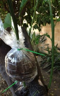 Easy way to propagate an orange tree. You can grow a new plant faster by air layering than from planting a seed. You can use this method to propagate all sorts of plants. Grafting Fruit Trees, Grafting Plants, Plant Propagation, Trees And Shrubs, Trees To Plant, Growing Blackberries, Air Layering, Citrus Trees, Most Beautiful Gardens
