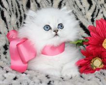Baby Doll Cat Breed   Persian Kittens, Doll Faced Persian Kittens for Sale at CatsCreation ...