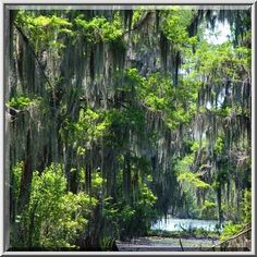 Bayou Photo Louisiana Swamp | Photo 443-14: Cypress swamp of Bayou Segnette. New Orleans, Louisiana