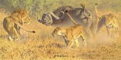Brian Jarvi, Savage Land African Lions and Cape Buffalo  Original Oil 36 x 72