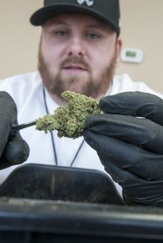 Marijuana trimmers at ground level of an emerging industry | The Columbian