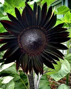 Handmade item Made to order Materials seeds, Black Sunflower Seeds, flowers seeds, eare sunflowers seeds True Black Ornamental Sunflower Seeds · Package: Professional Pack · Quantity: 20 Seeds / Pack · Zones: · Germination rate: High Exotic Plants, Exotic Flowers, Beautiful Flowers, Moon Garden, Dream Garden, Shade Garden, Garden Plants, Cactus, Black Sunflower Seeds