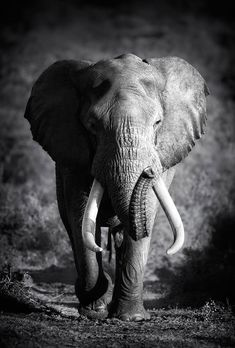 Elephant Bull (Artistic processing) by Johan Swanepoel on 500px