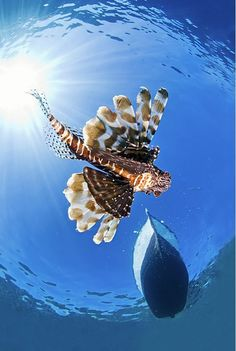 Lion Fish from below Caribbean | Glide... by Jacques de Vos with Pin-It-Button on http://1x.com/photo/40313