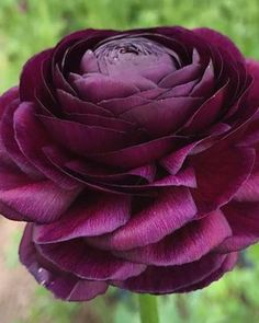 Italian Ranunculus Class® Viola - Purchase on-line at Farmer Gracy UK Unusual Flowers, Unusual Plants, Purple Flowers, Beautiful Flowers, Yellow Roses, Fresh Flowers, Pink Roses, Sugar Flowers, Spring Plants