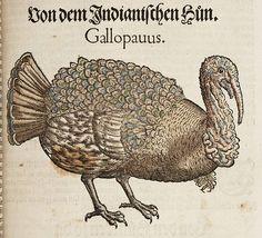 Turkey from Konrad Gesner's Vogelbuch, 1557.