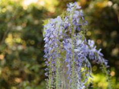 Blauregen zum Hochstamm erziehen – So gedeiht die Pflanze auch in Kübeln